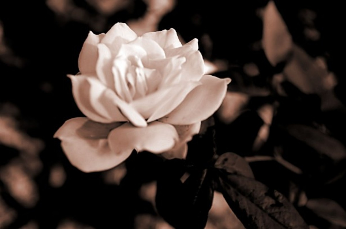 The vintage rose is a symbol for the aged and wise
