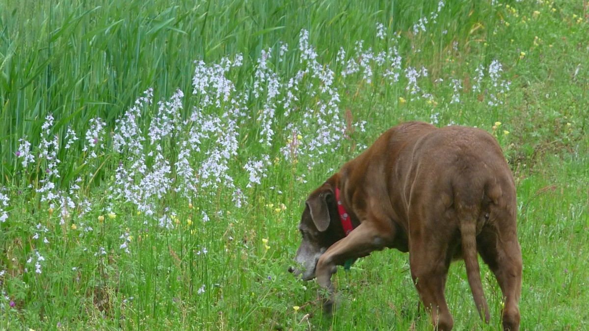 Ginger investigates the wildflowers