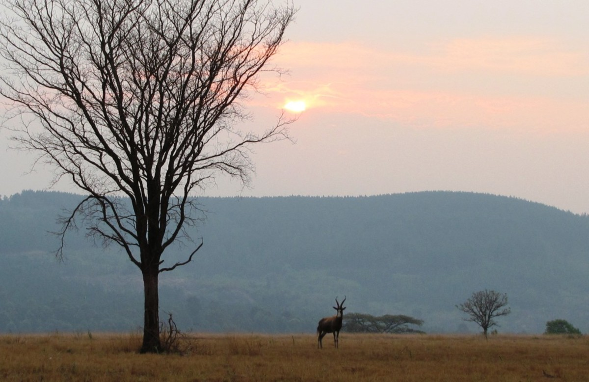 Lonely Hartbeest under African Sunset-Mlilwane, Swaziland
