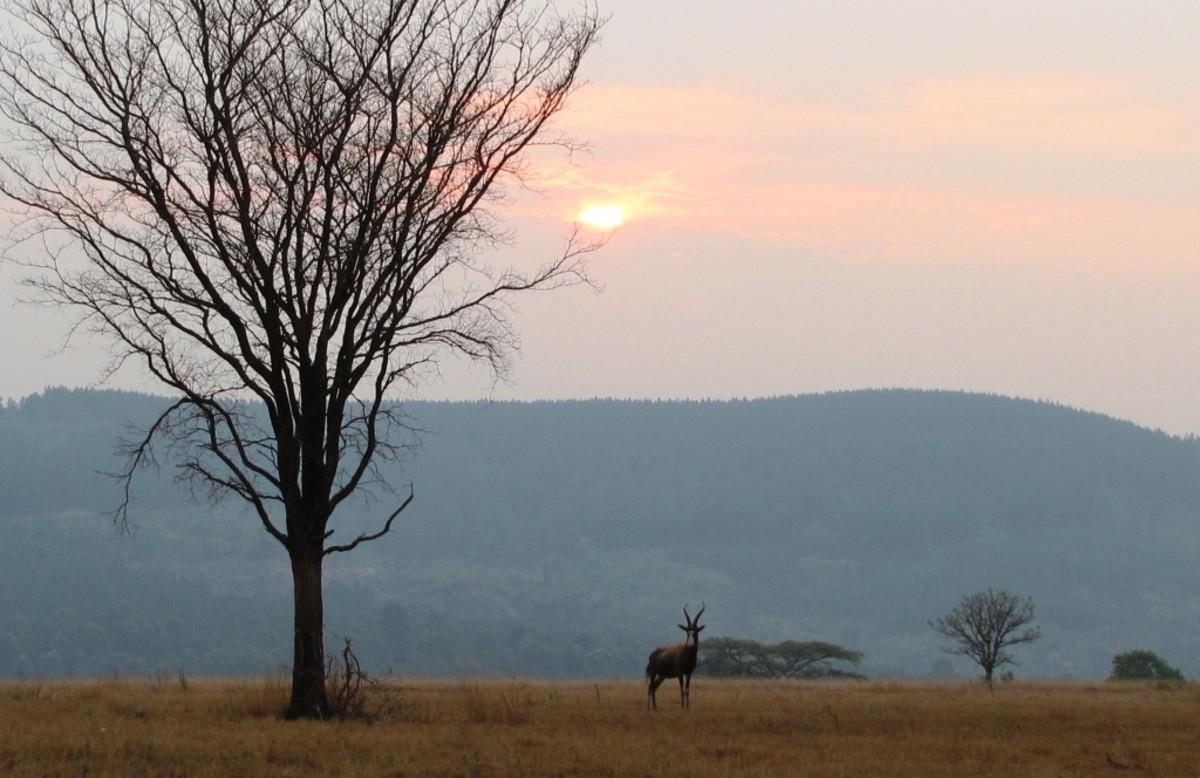 Lonely Hartbeest under African Sunset-Mlilwane, Swaziland