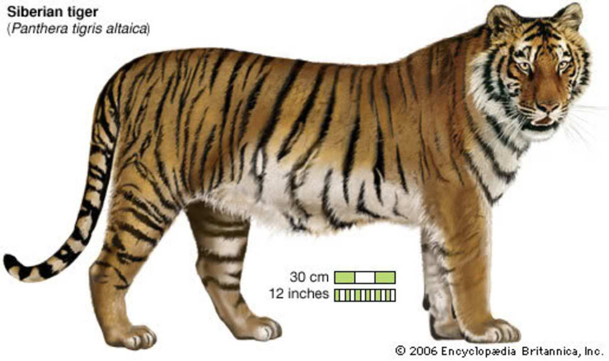 The specs on the Amur (Siberian) Tiger