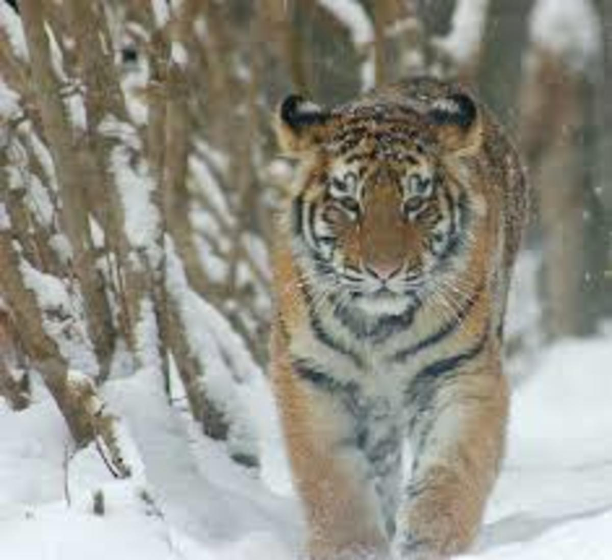 An Amur Tiger also known more commonly as a Siberian Tiger.