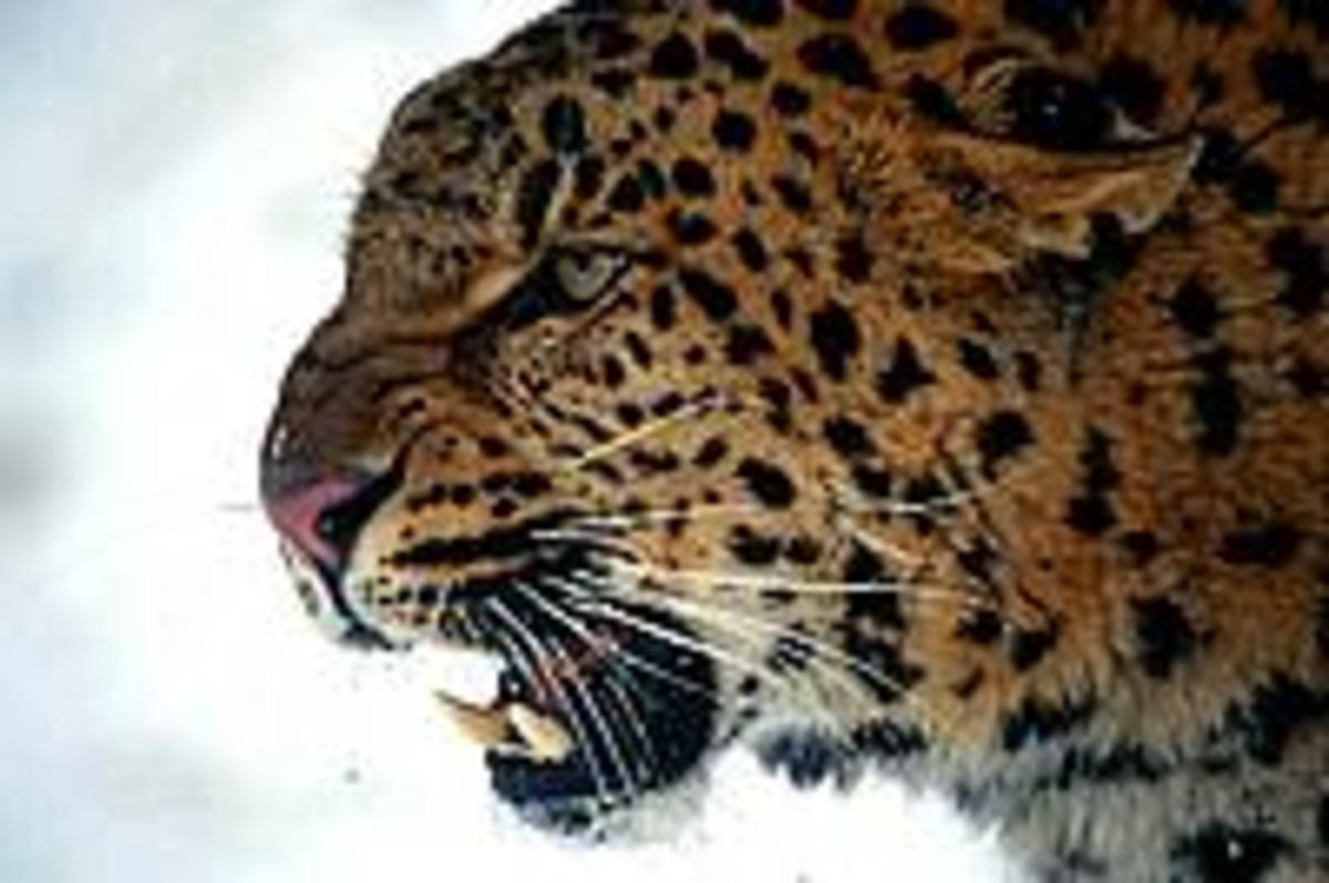 A snarling Amur Leopard also known as a snow Leopard.