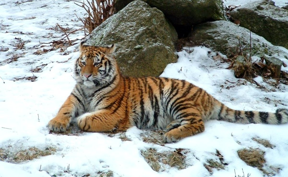 A Siberian Tiger rests in the snow