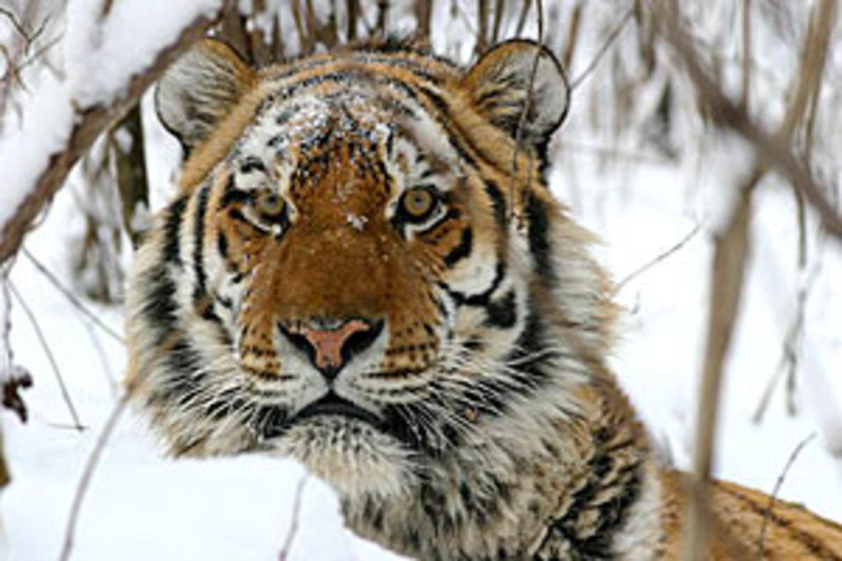 An Amur Tiger hunts in winter.