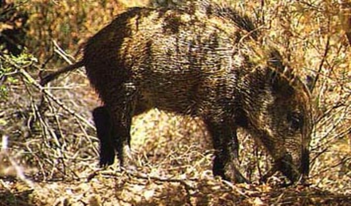 Wild Boar of the Sikhote-Alin