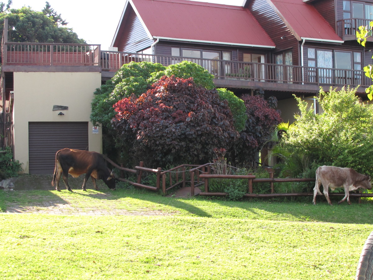 Cattle in the gardens