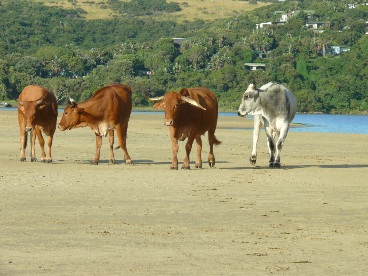 Cattle crossing beach on way to town