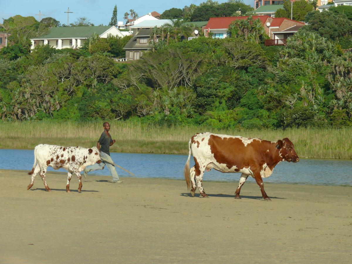 Cow-ranger.