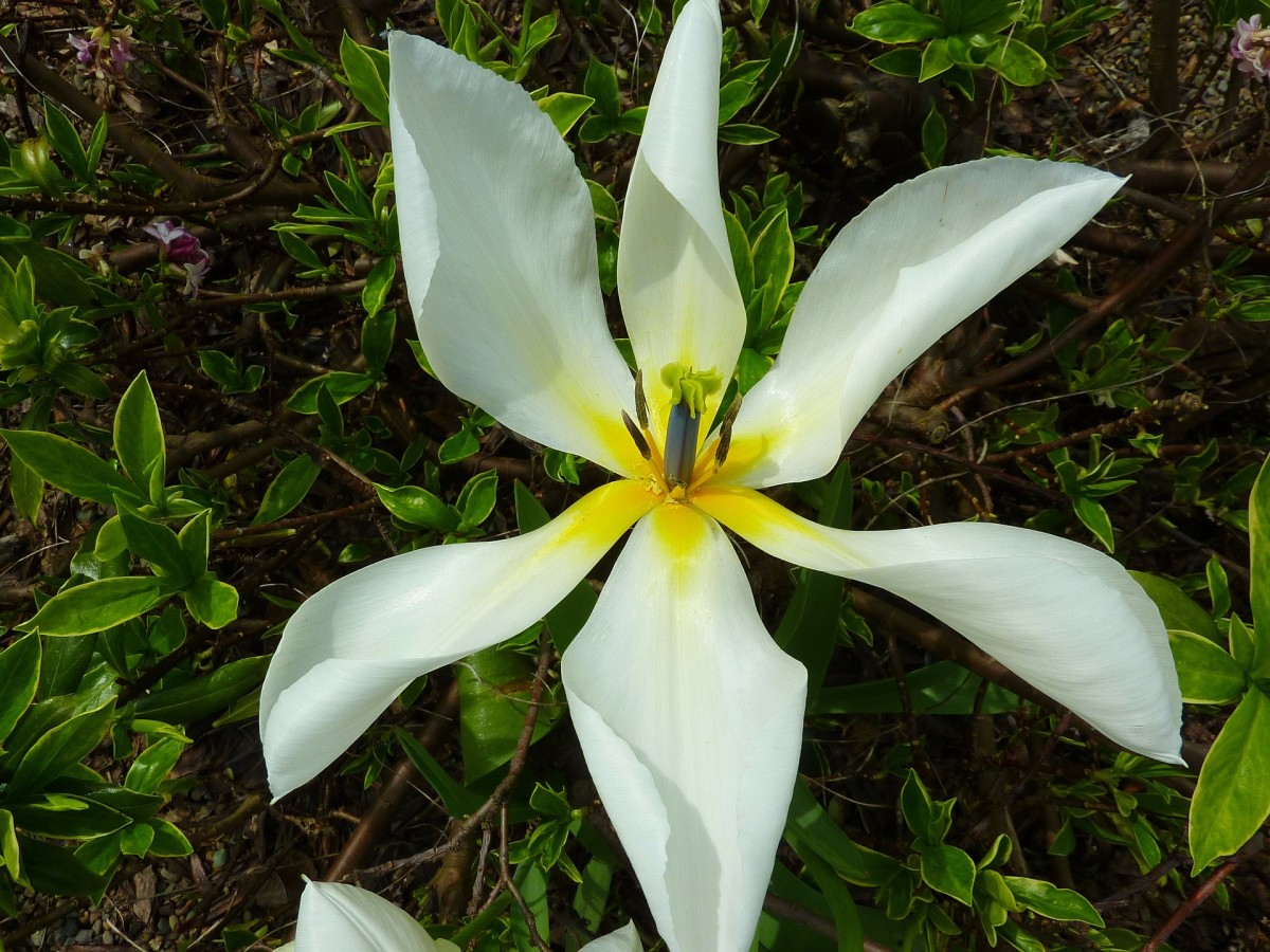 The star of Bethlehem plant has star-shaped flowers