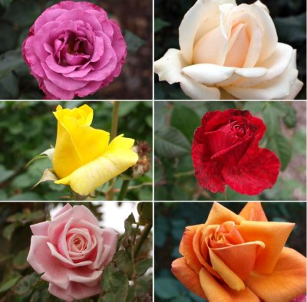 lessons-from-a-rose-bush
