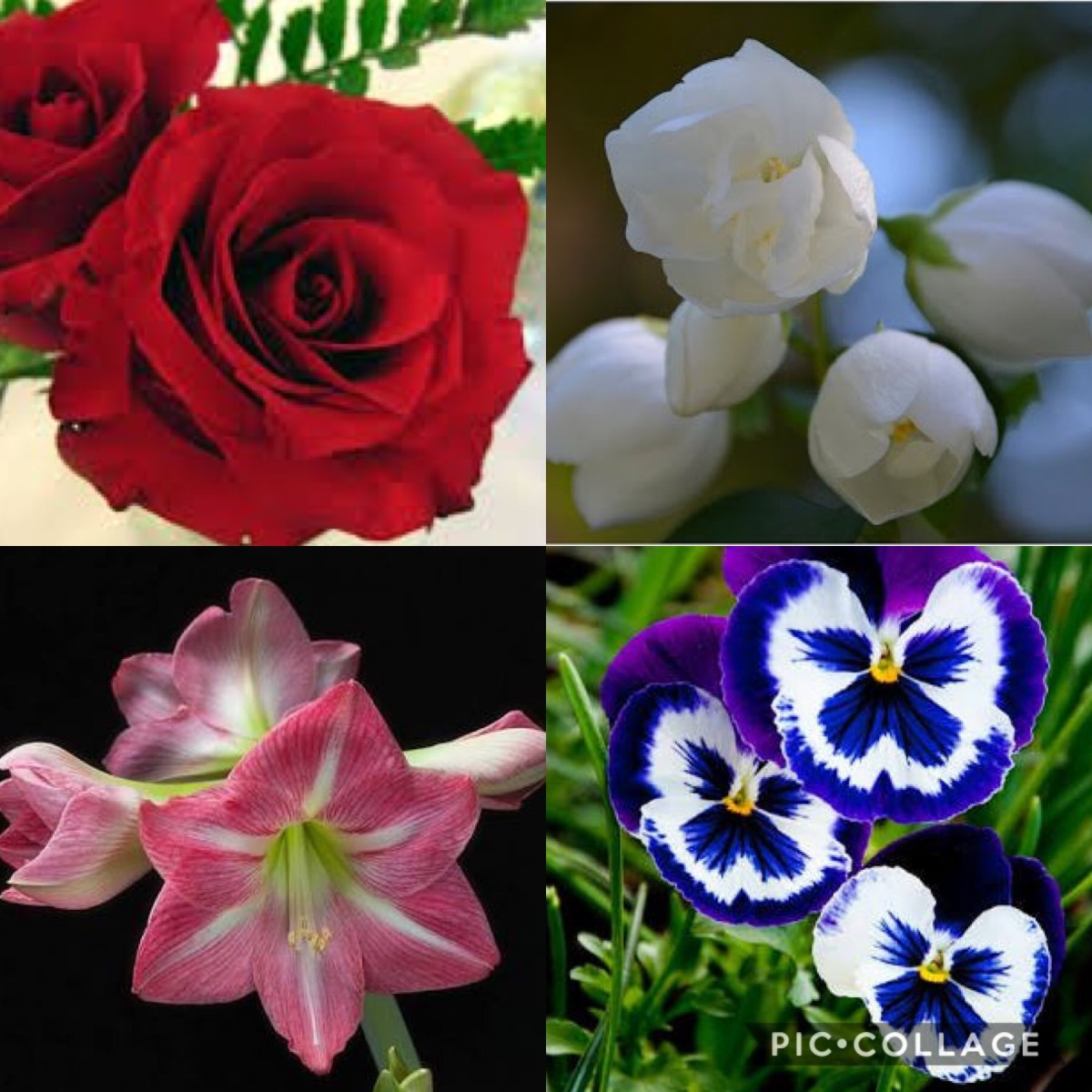 Flowers of February—Bright Red Rose, Pink Lilies, Jasmine, Pansies