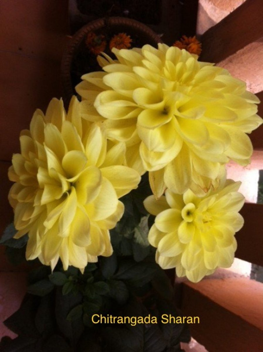 Dahlias of February—Flowers in my garden