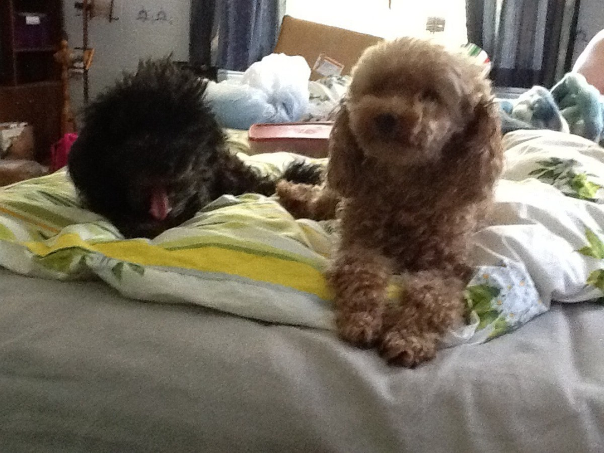 Jackson and Ginger, the toy poodles. Who's spoilt?