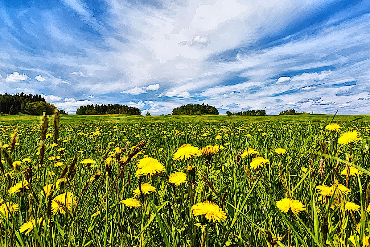 Dandelions in a sunny field