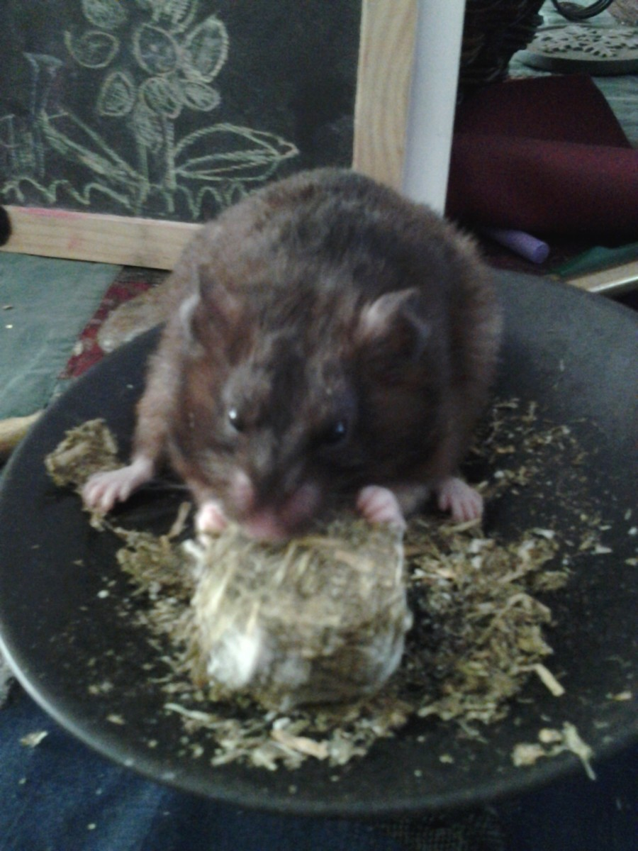 Elsa eating her home-made birthday treat from her human girl