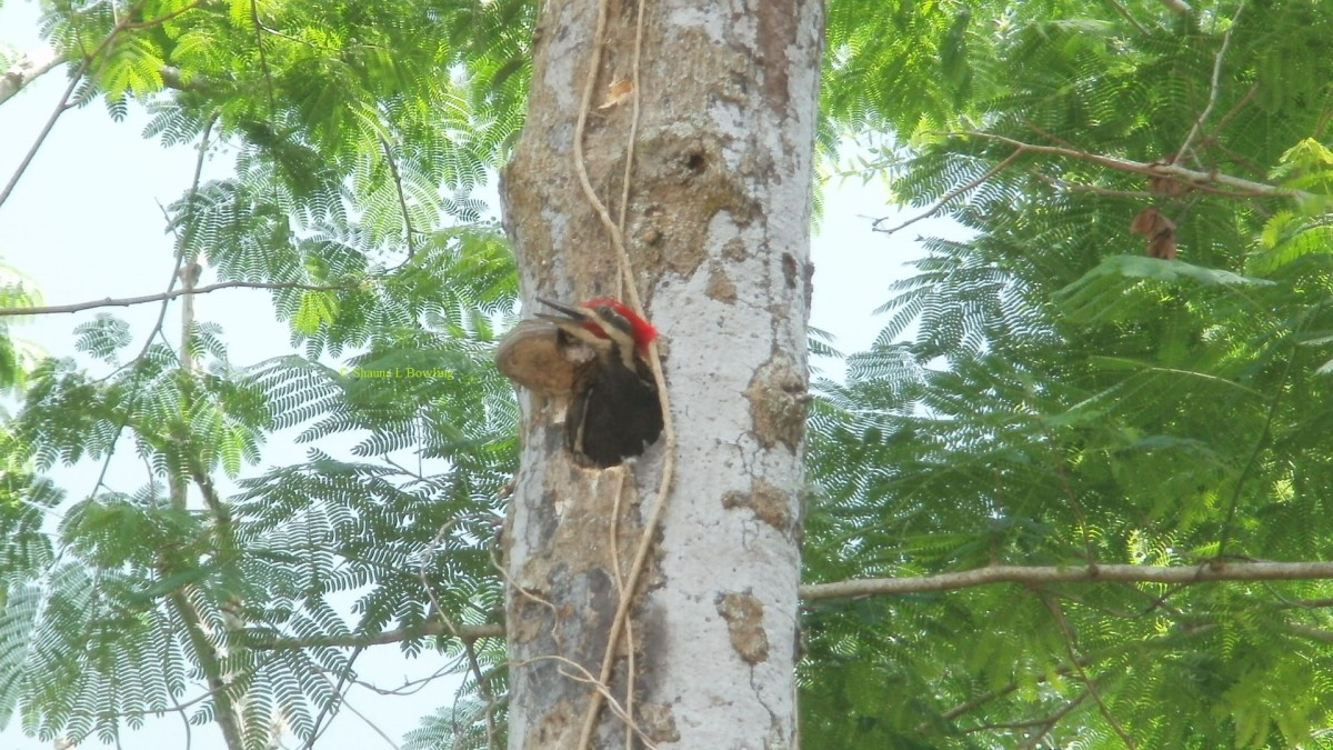 Male Pileated Woodpecker testing out his handiwork