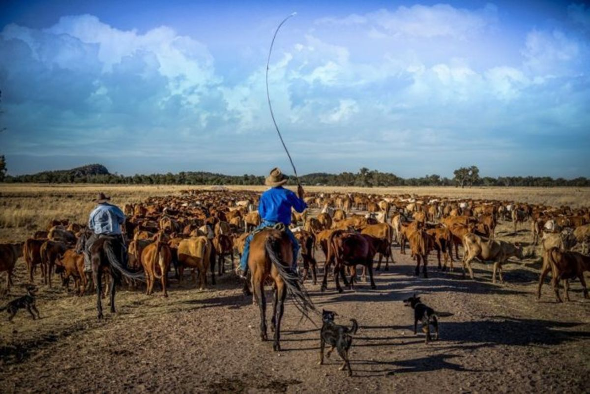 Drovers on the Brinkworth cattle drive