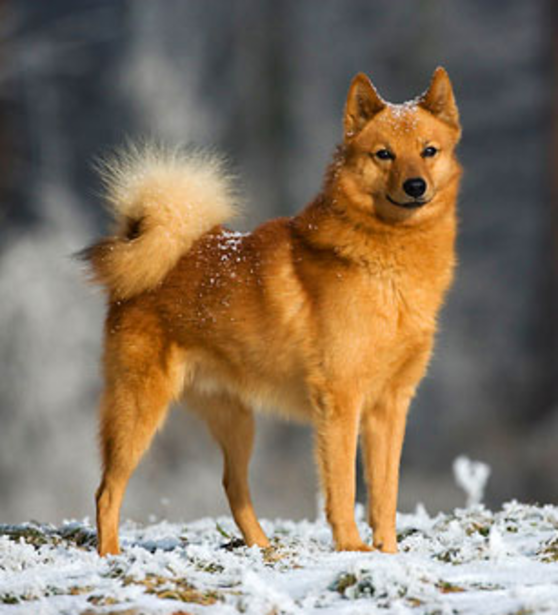 While living in Denver, Colorado; our first pet dog was a Finnish Spitz, similar to the one in the photo.