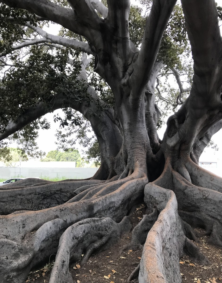 Big tree located at Montecito and Chapala Streets in Santa Barbara