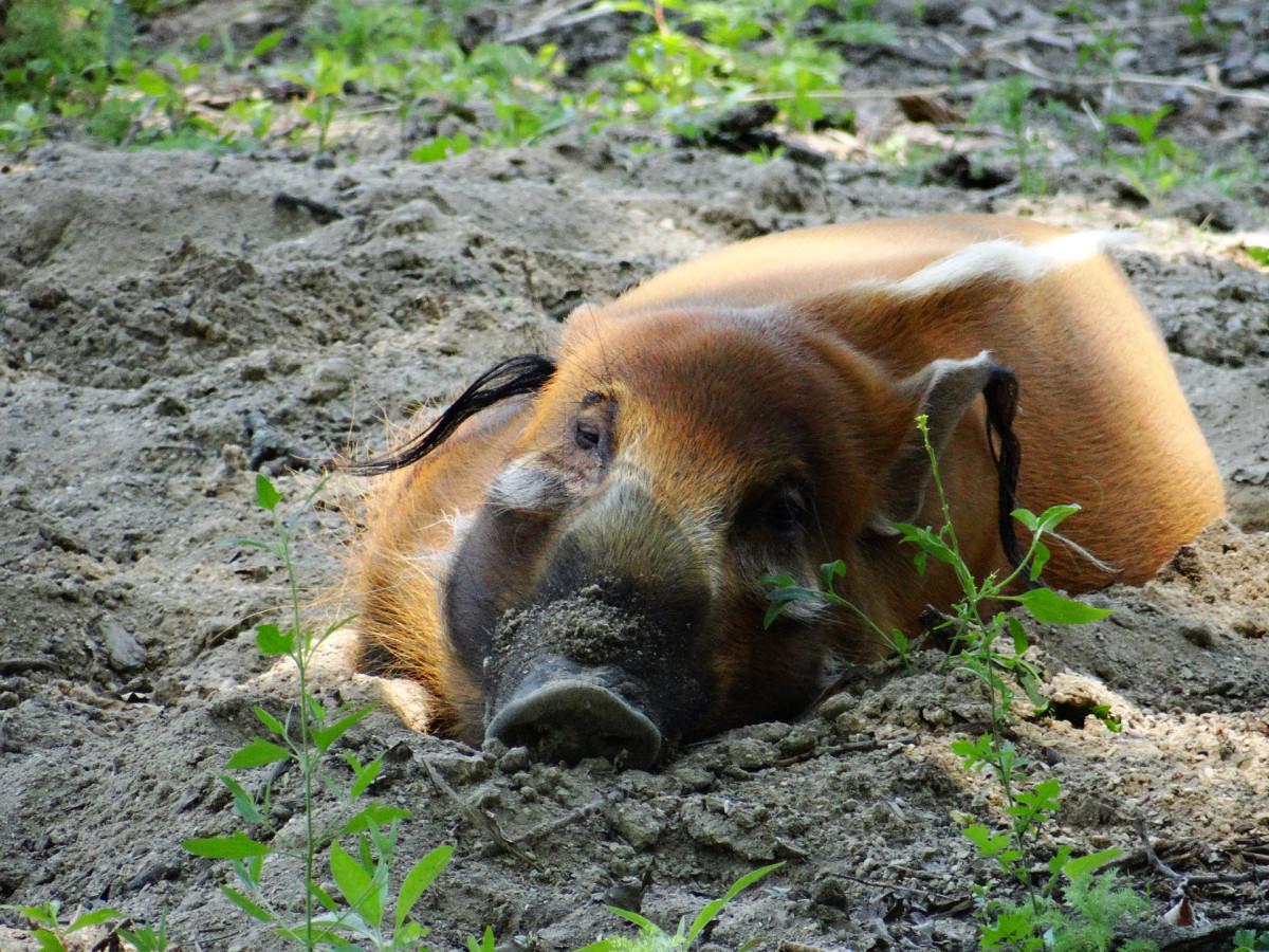 The Pig Likes Mud