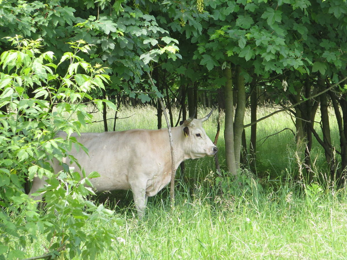 "English White Park Cow (""Englisches Parkrind am Waldrand im NSG Karower Teiche""), by Sinuhe20"