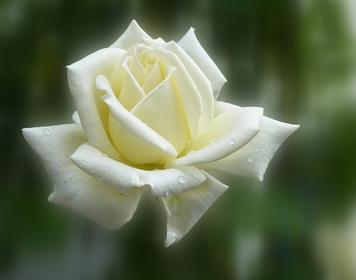 White Rose for Purity and Peace