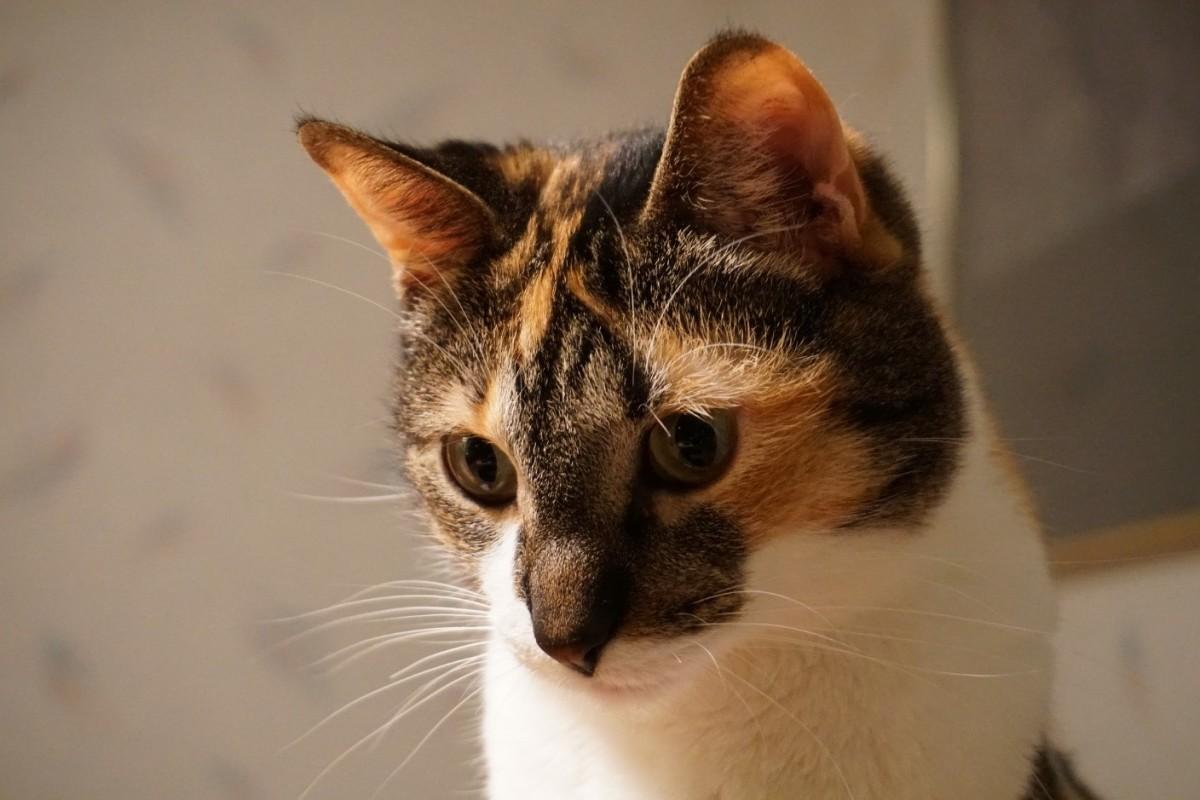 Calico the Cat