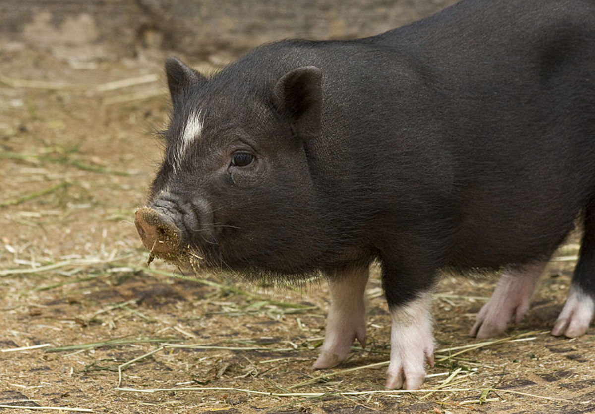 Isn't this piglet so cute and cuddly? So are you so happy that you would wallow in a mudhole?