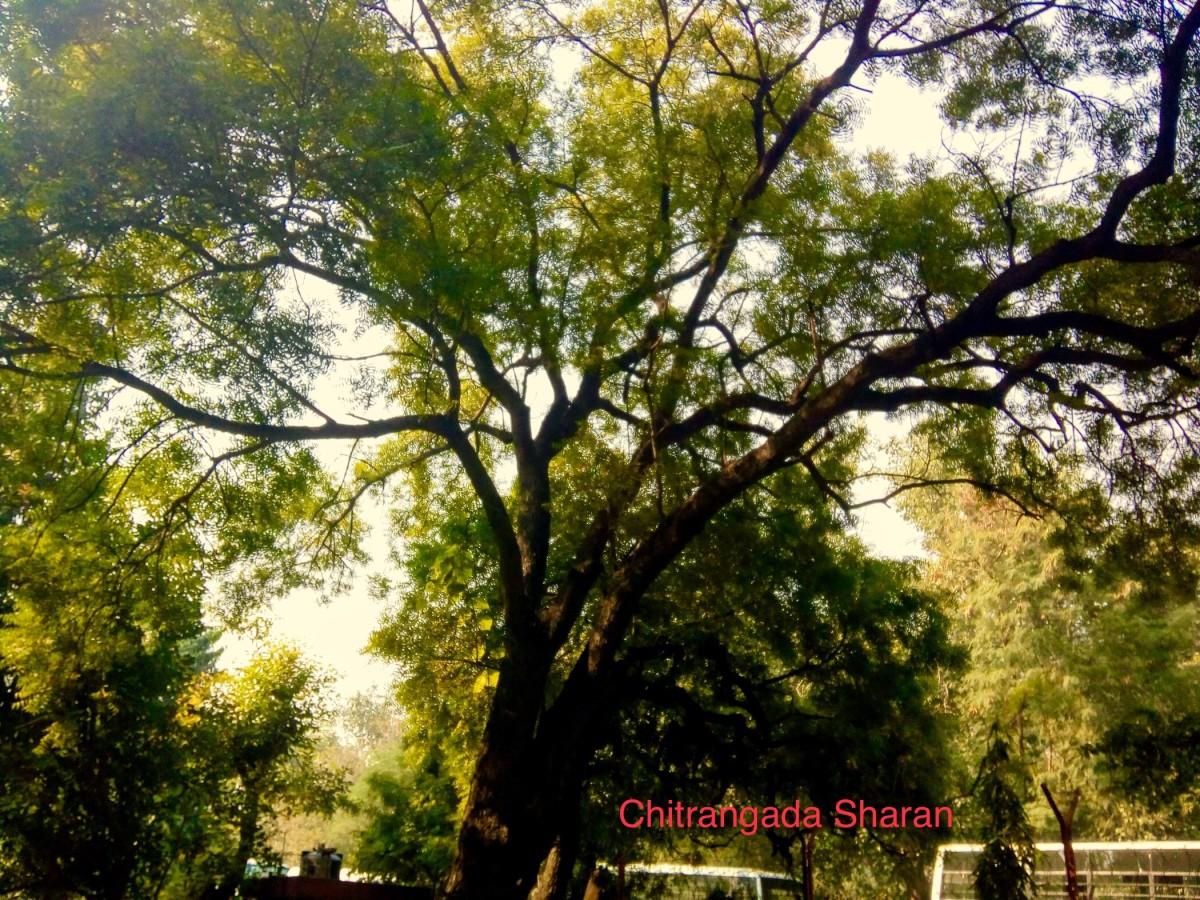 The humble and medicinal Neem tree.