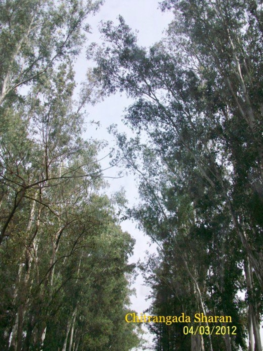 This is an old picture. Huge trees, all along the highways.