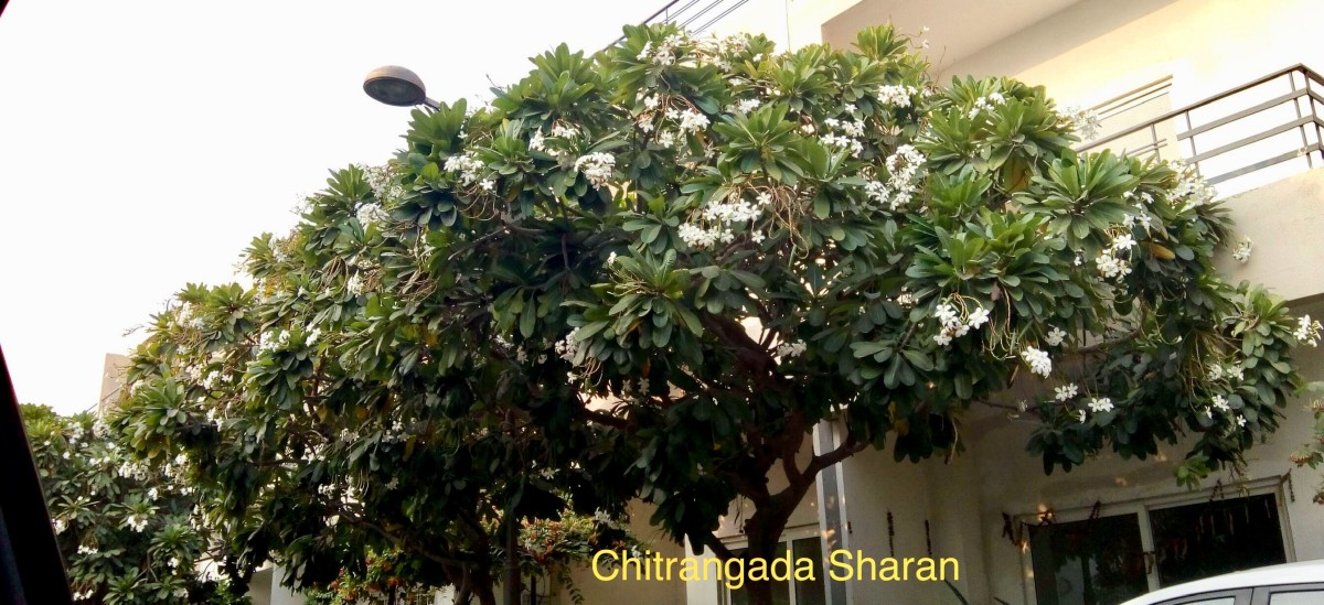 The Plumeria Rubra, the fragrant white flowers on this beautiful tree, makes my day, during my evening walks.