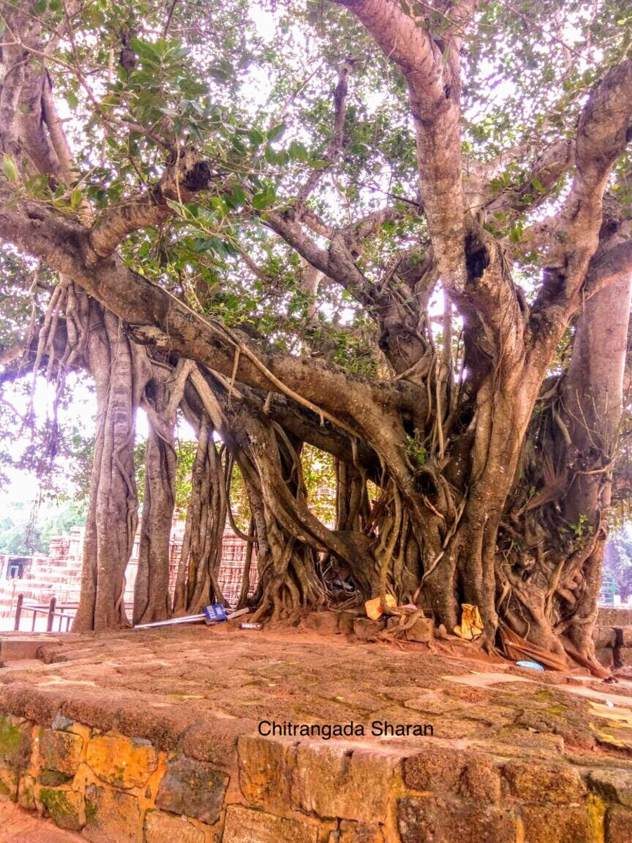 An old Banyan tree, with many supporting roots. Can you imagine, how much this tree must have seen?