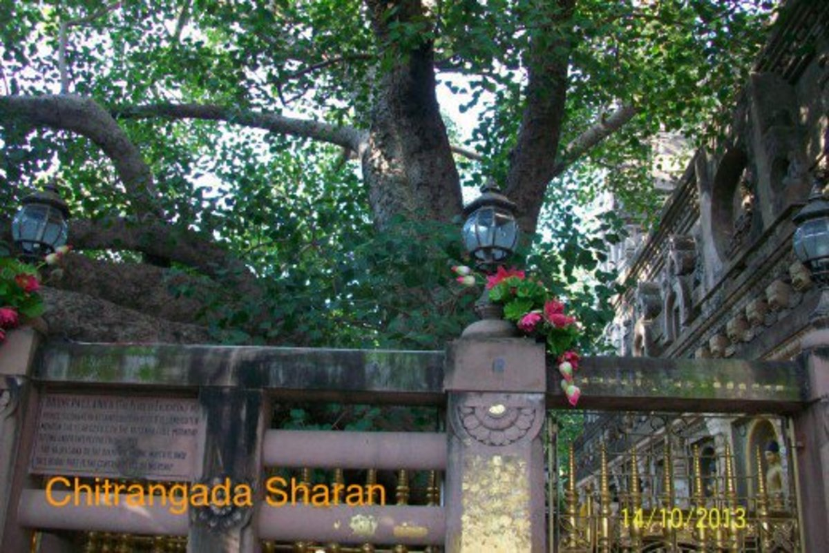 This is the huge and widely spread, Mahabodhi tree, at Bodh Gaya, India. Lord Buddha attained enlightenment under this auspicious tree.