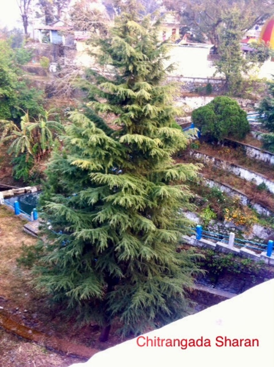 Another wonderful pine tree from the hills of Nainital, India.