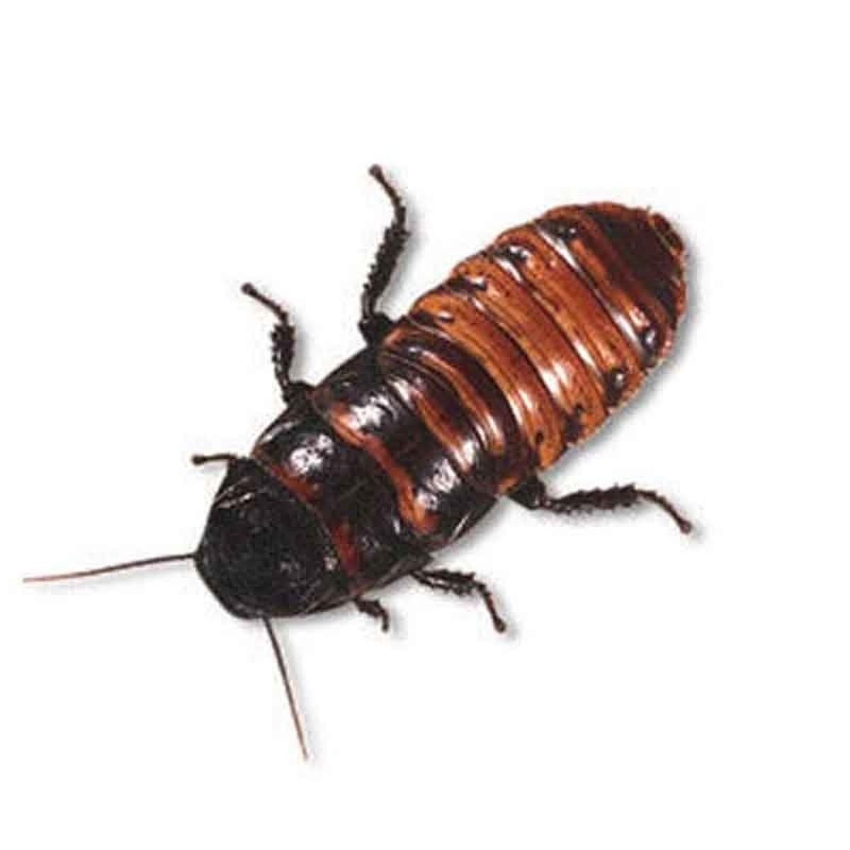 Madagascar Cockroach.