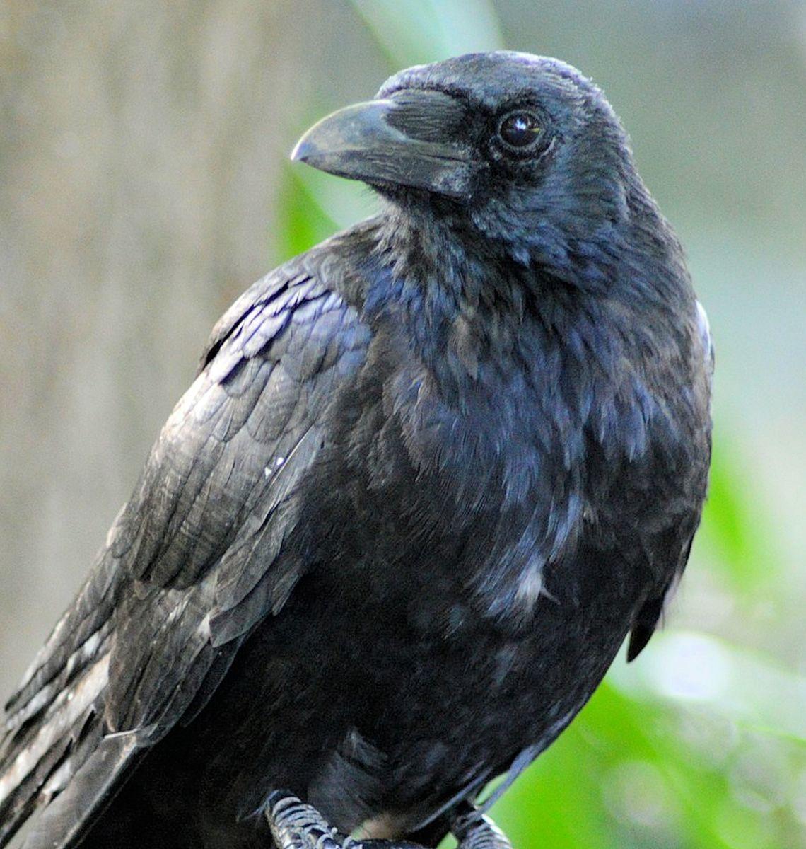 Raven on window sill