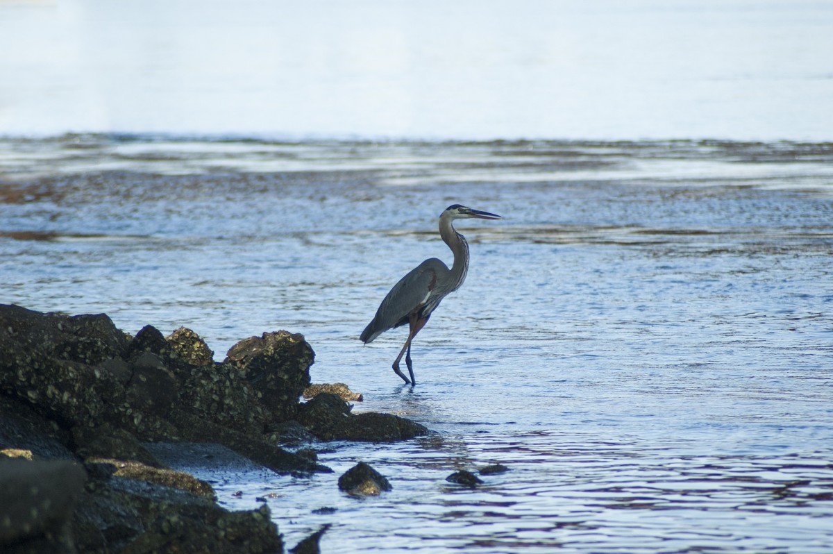 The Great Blue Heron wades in the shallows of the bay.