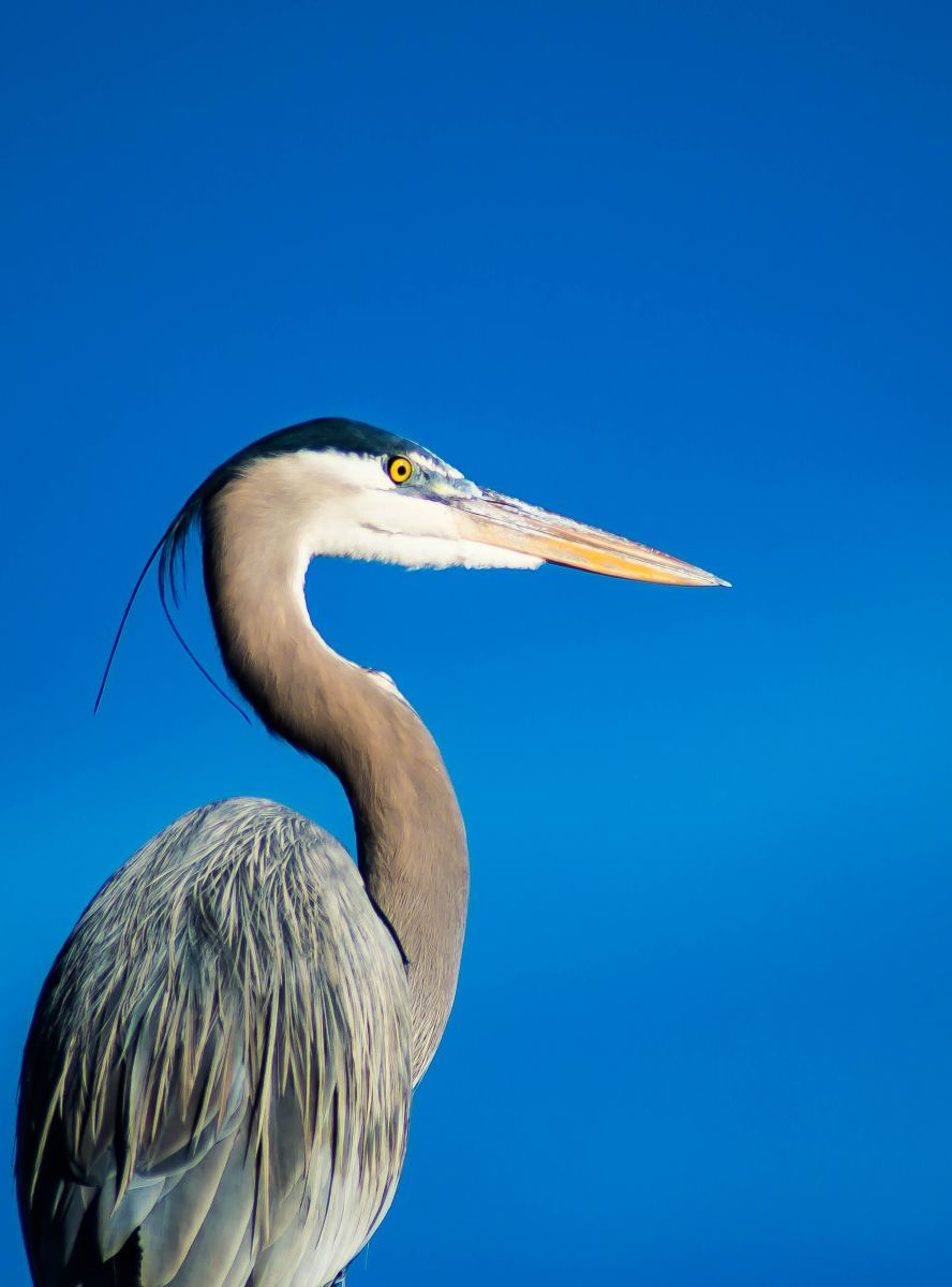 The Great Blue Heron.