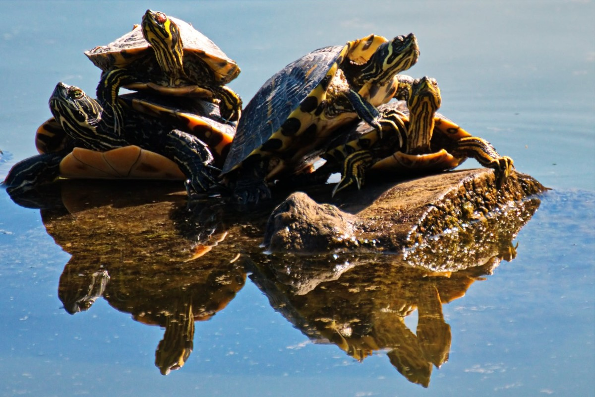Turtles relaxing, taking in the sunshine as life goes by.