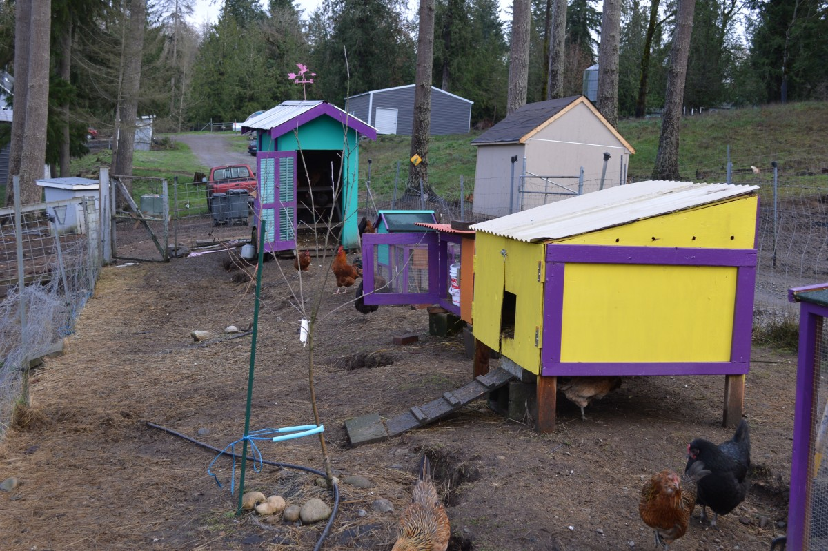 The chickens were looking for the nightmare to end