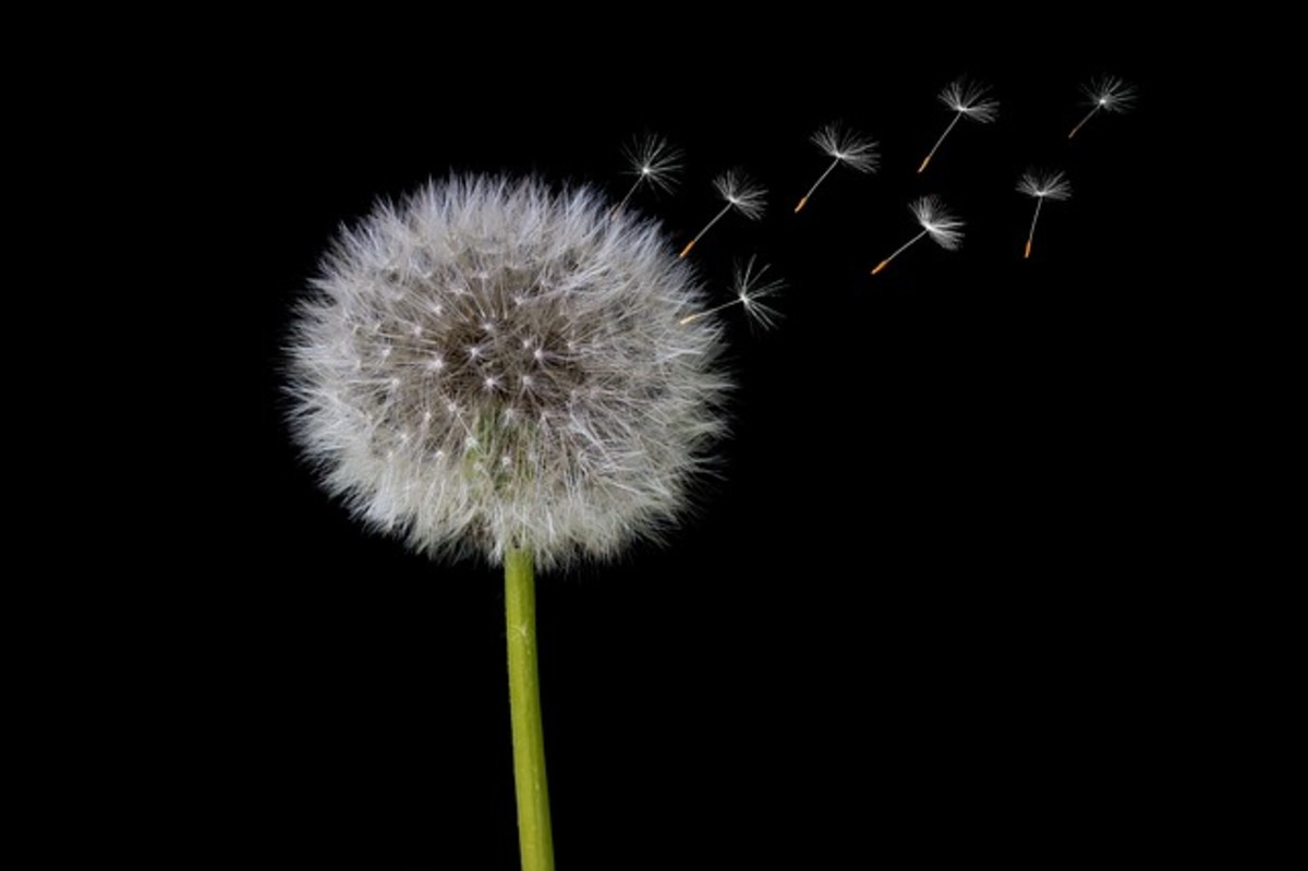 Dandelion - a weed or a flower?