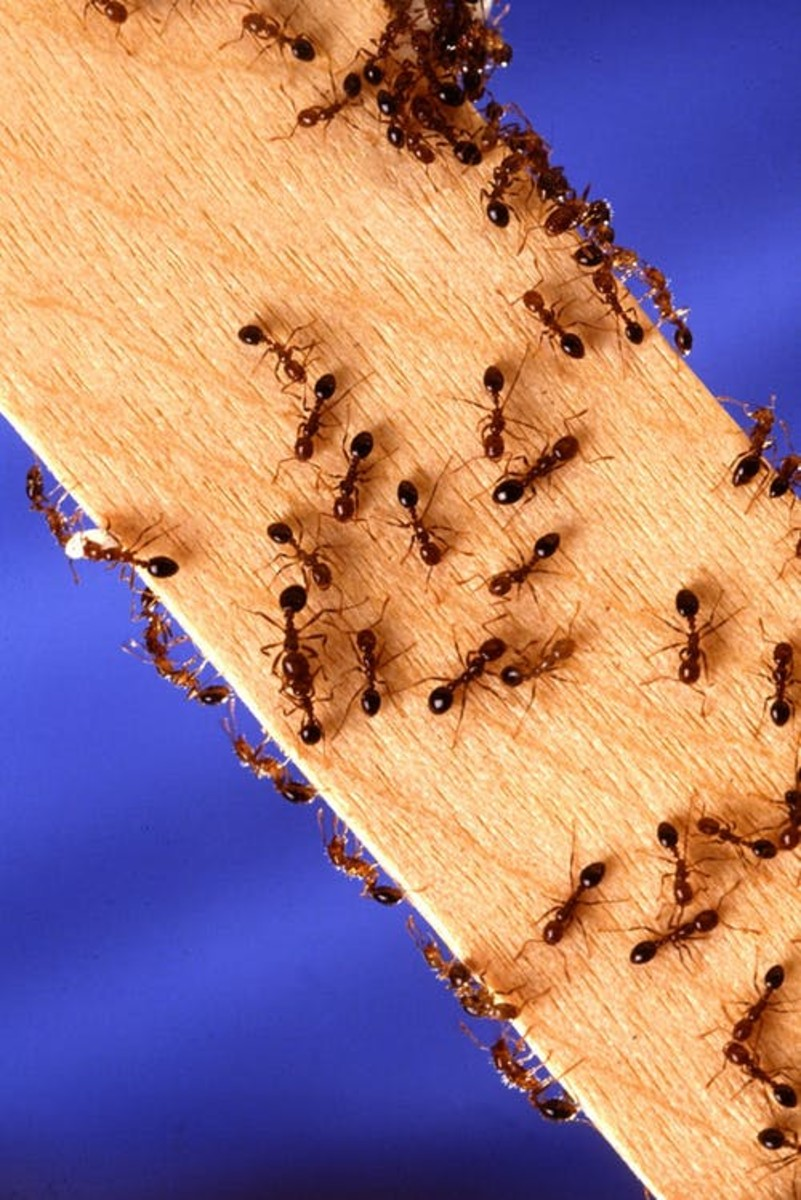 """Ants: The Number One """"Enemy of Picnics."""""""