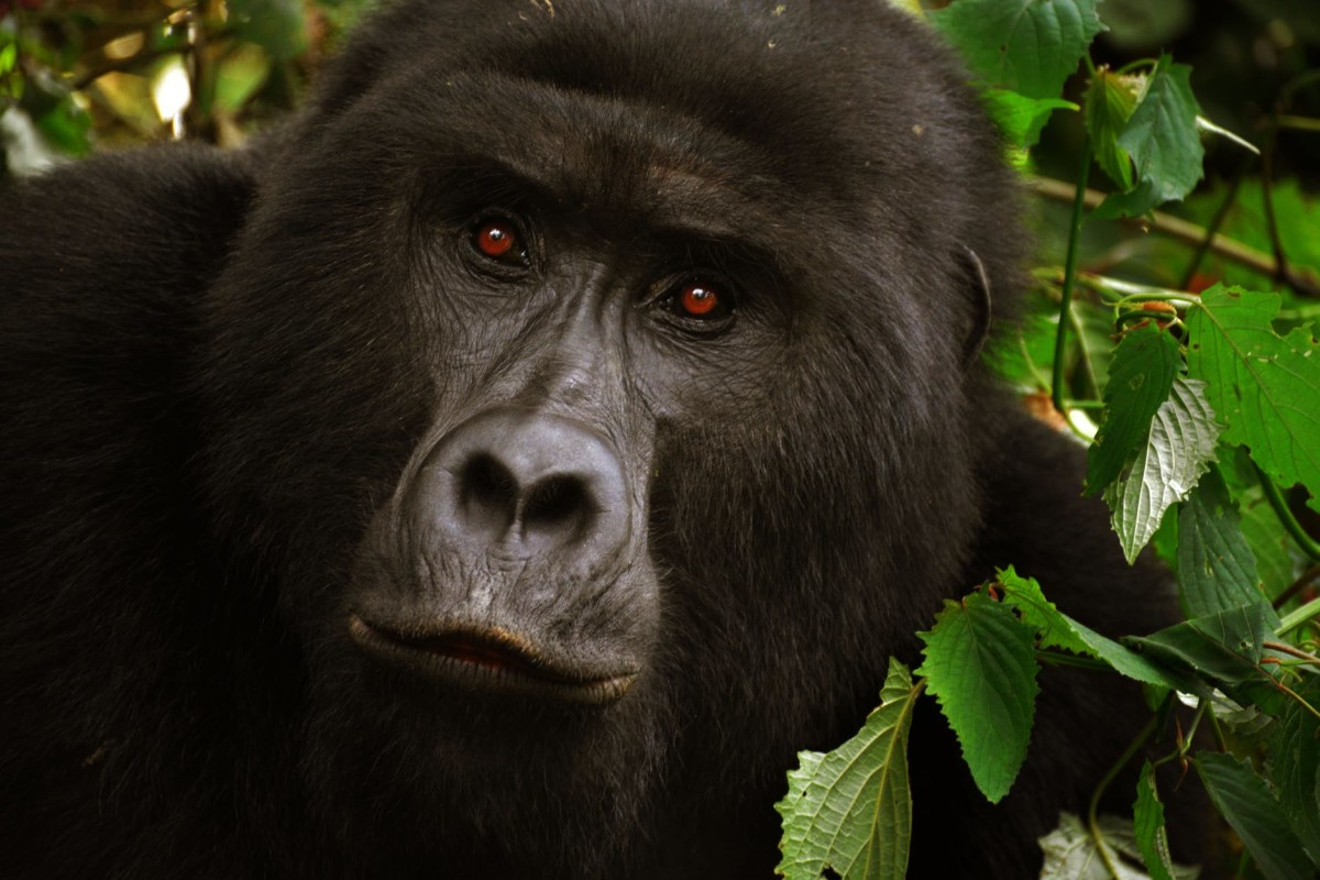 Gorillas Spend Lots Of Time Thinking.