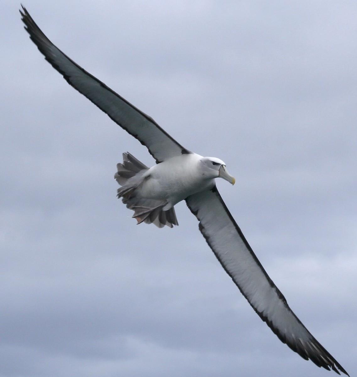 Wandering White Albatross