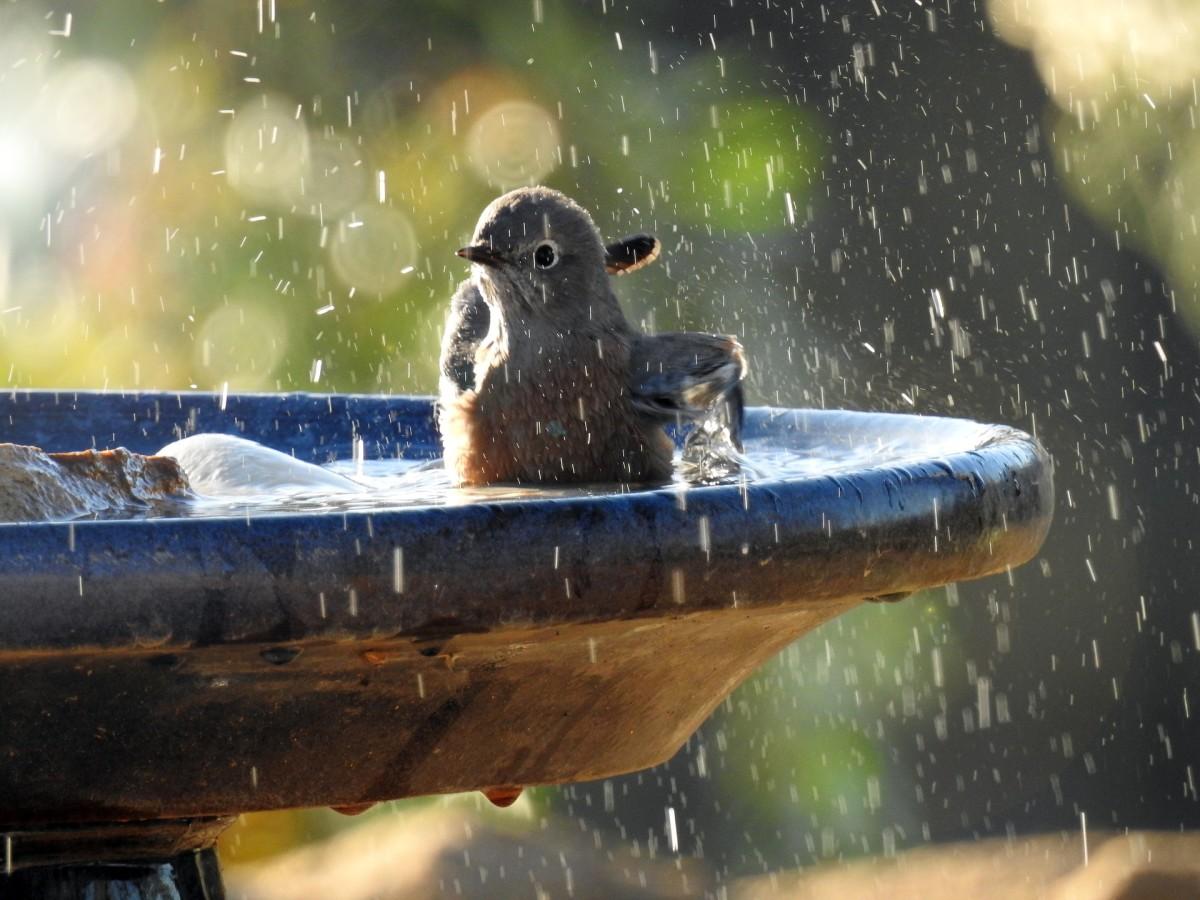 """Heavenly refreshment for birds in their baths."""