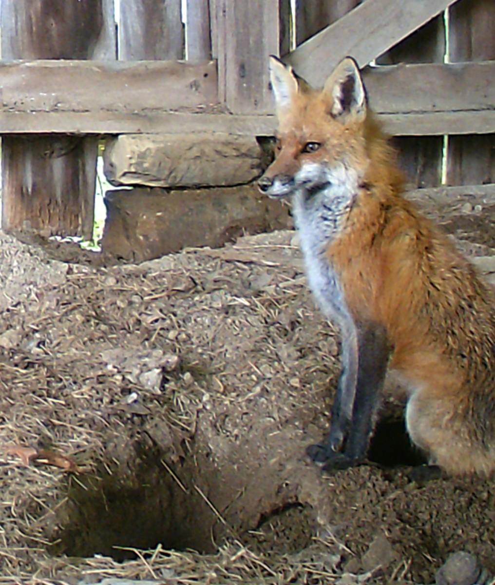 Vixen guarding her den in the lower barn.