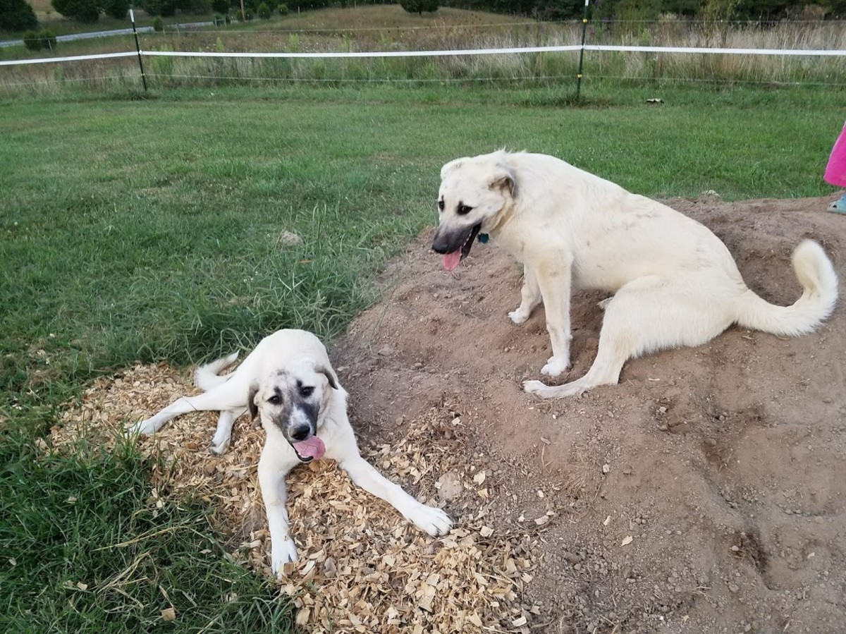 Two crazy pups in training.