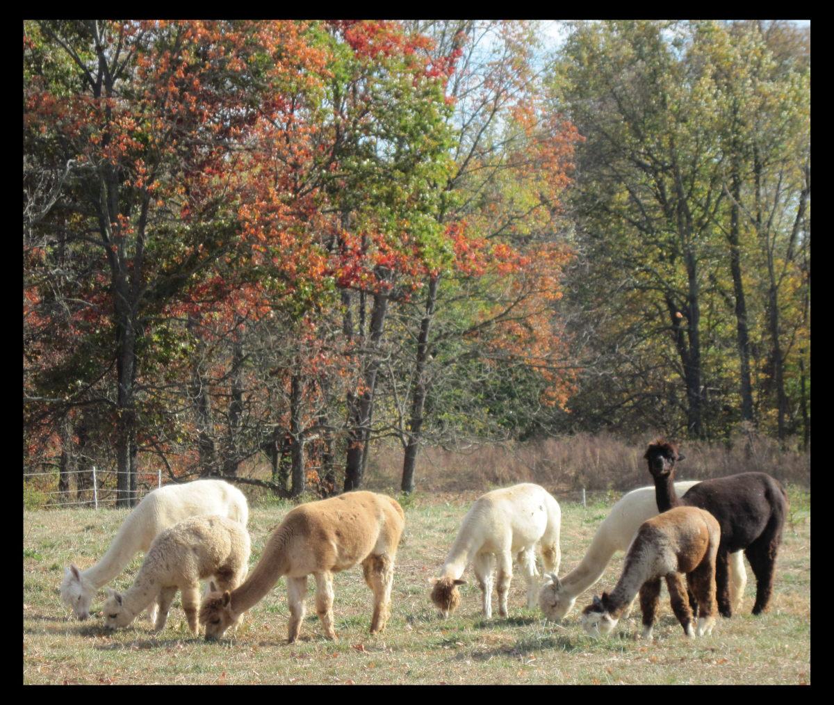 Alpacas grazing in the pasture.