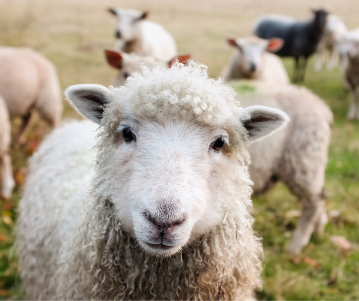 Sheep are cute, but not necessarily bright!  And God says we are His sheep. Hmmmm